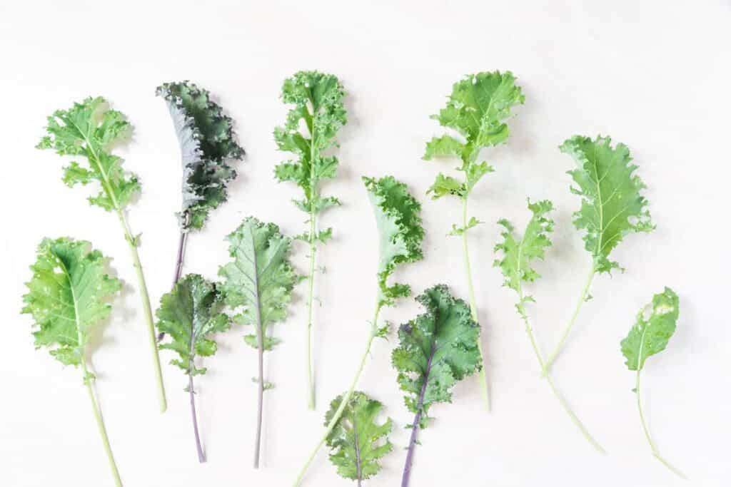 Multiple leaves of several kinds of kale on a white background with sun drenching them from the left