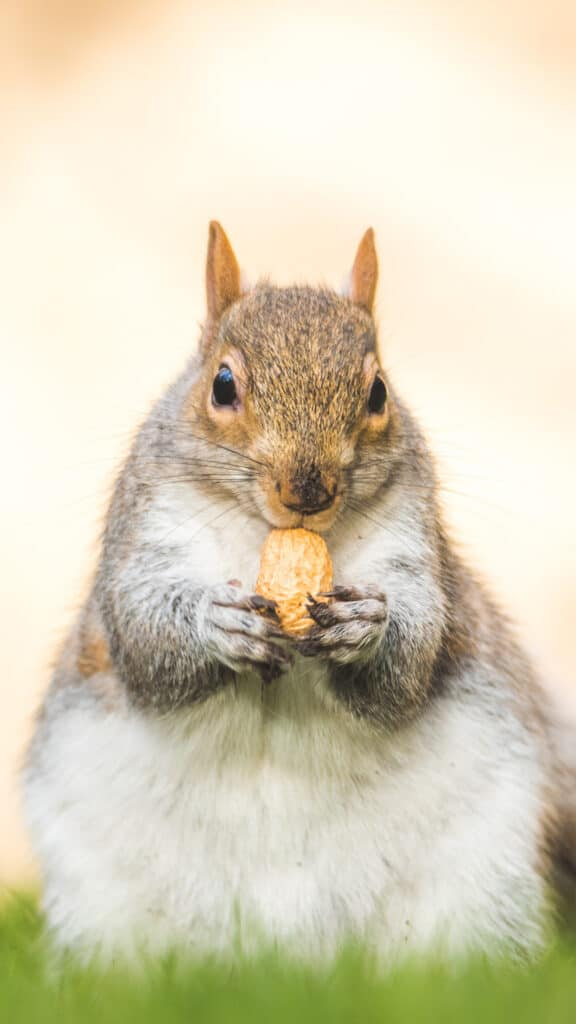 a fat squirrel nibbling an almond