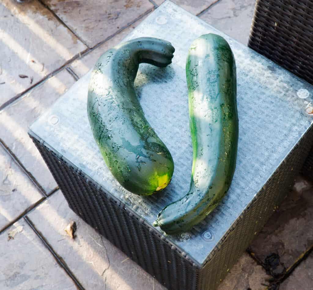 Jumbo Zucchini