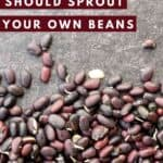 How & Why you should sprout your beans